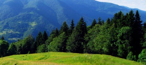 Хвойные породы древесины - достоинства и уход